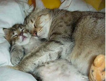 A tabby cat and kitten snuggling asleep.
