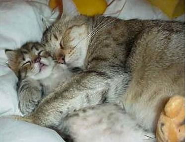 A tabby cat and kitten snuggling asleep.