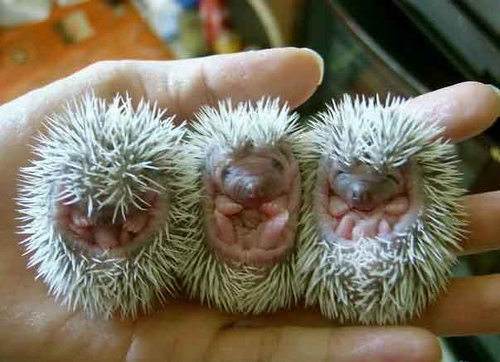 Three baby hedgehogs all curled up.  Just like my hair.