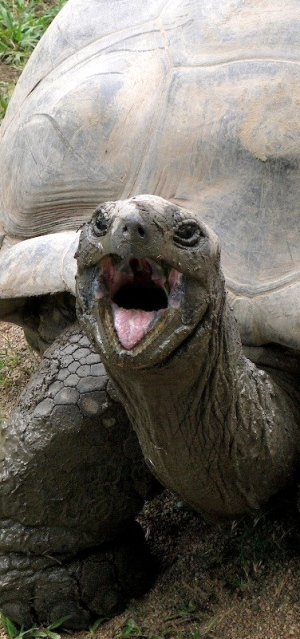 Harriet the tortoise sticks her tongue out.