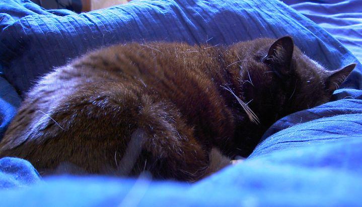 Cat - Queen of the Duvet